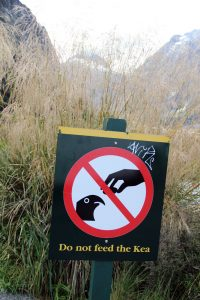 weltreize.com-neuseeland-dont-feed-the-kea