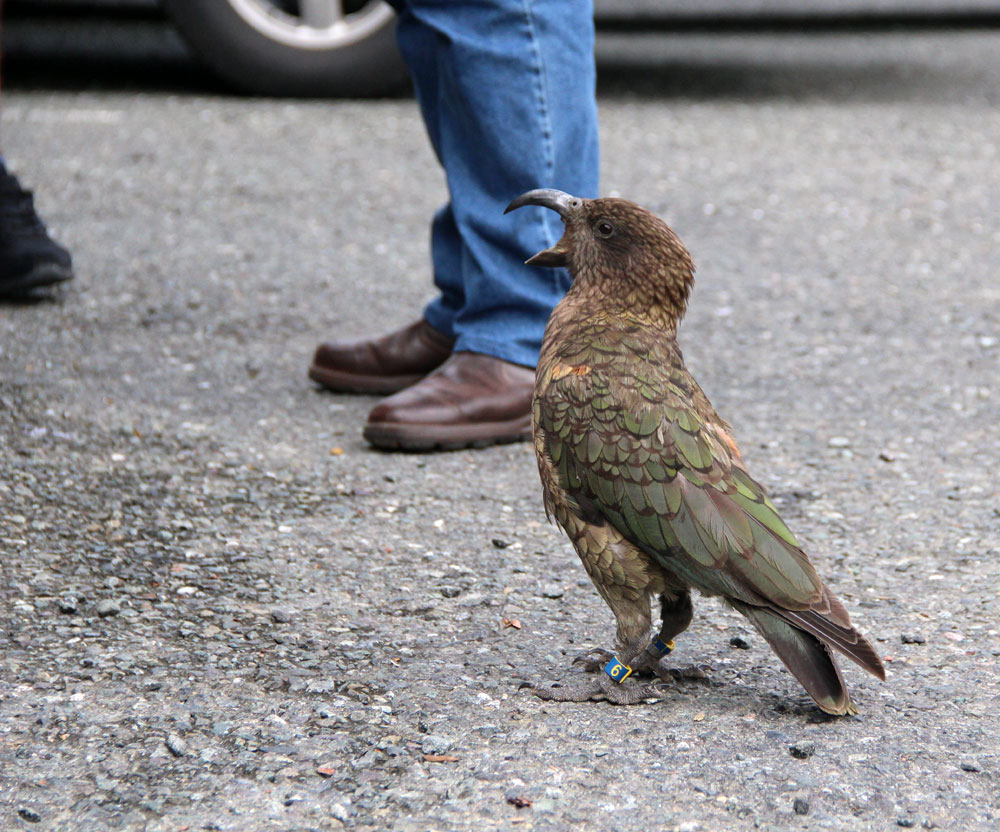 weltreize.com-neuseeland-kea-bird